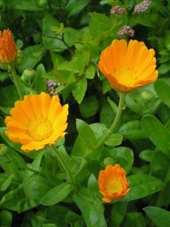 цветки лекарственной календулы