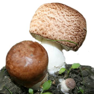 Лечебный гриб Агарик Бразильский