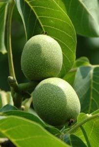 Масло плодов Черного ореха