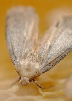 экскременты личинок восковой моли