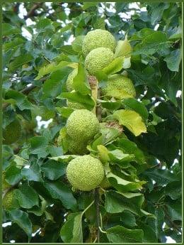 Настойка адамова яблока (маклюры)