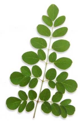 Моринга лист и соцветия