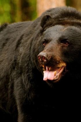 Сухая натуральная медвежья желчь в капсулах