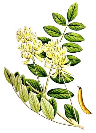 Астрагал шерстистоцветковый (корень), 25 г