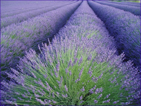 Лаванда трава и цвет