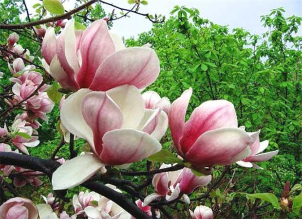 Магнолия белая растение  полезные свойства и